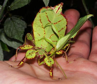 foto: phyllium philippinicum