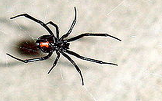5. Black Widow Spider (Latrodectus hasselti)
