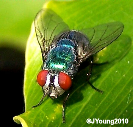 Blowfly South African Photogra...