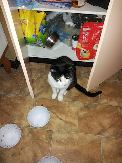 image: Mr Bumpy, sitting blocking the kitchen cupboard door. Empty food bowls are in front of him, and the cupboard contains animal food.