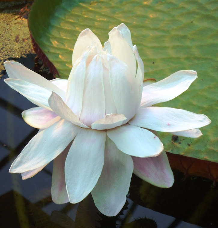 Amazonian waterlily
