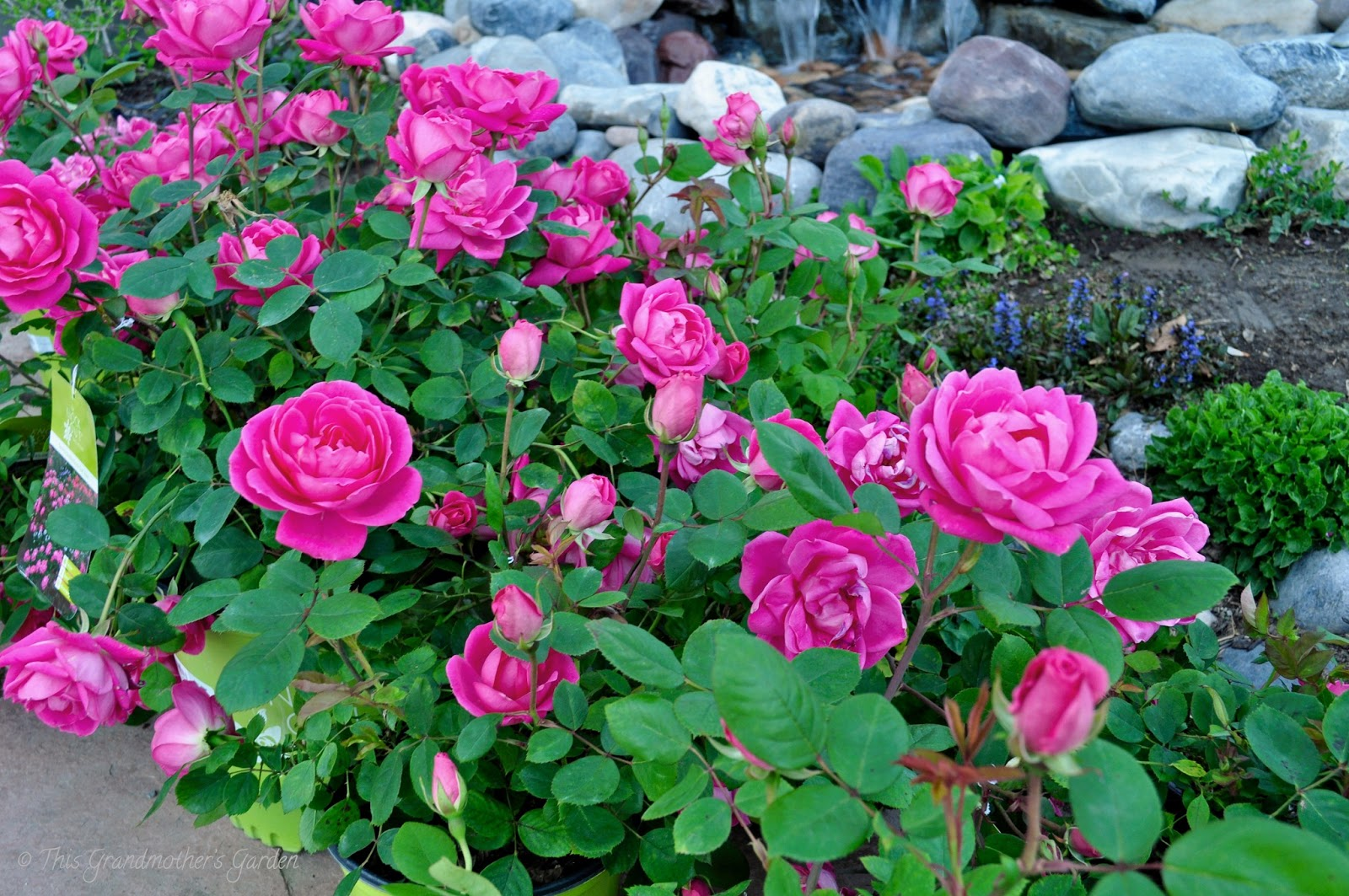 Double Knock Out® Rose Maintenance | Fast-Growing-Trees.com Blog
