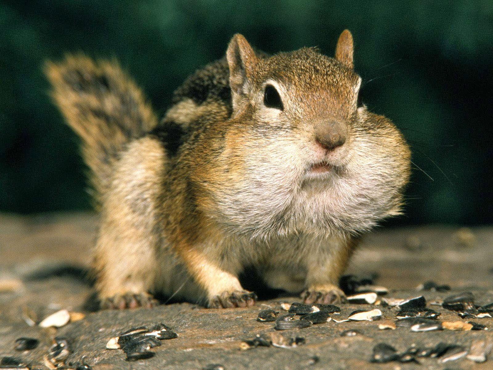 Chipmunks Animals | Facts & Latest Pictures | The Wildlife