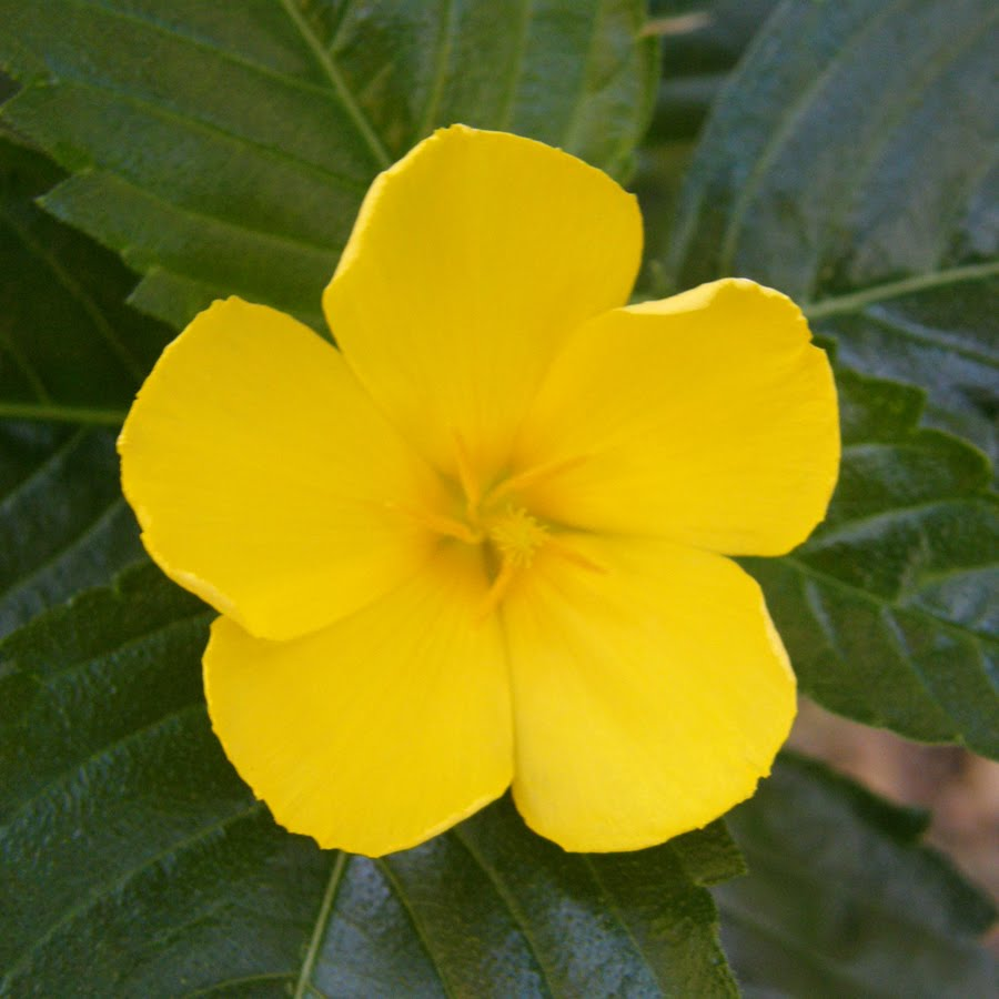 Sage rose west india holly yellow alder turnera ulmifolia l characteristics small shrub 30 120 cm high single leaf switch sort oval or spear form a single flower from the top of the niche cards 5 petals yellow mightylinksfo