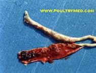 Hình 3: Xuất huyết niêm mạc, sưng to và hoại tử hai manh tràng.