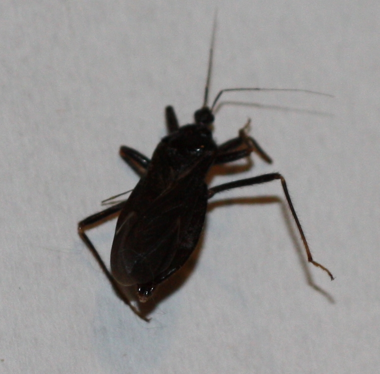 an inch long from end to antennae made a hissy clicky noise and bit me  Mystery. Small Long Black Bug