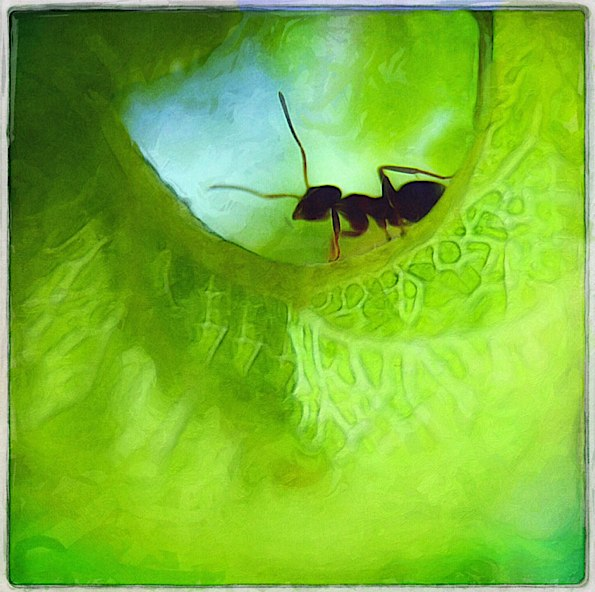 Ant in a Rolled Leaf © Kristin Moeller