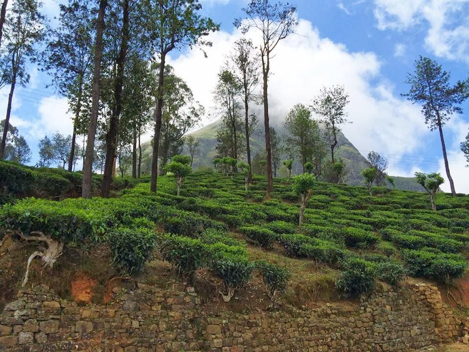 Tea trees in the badulla mountain