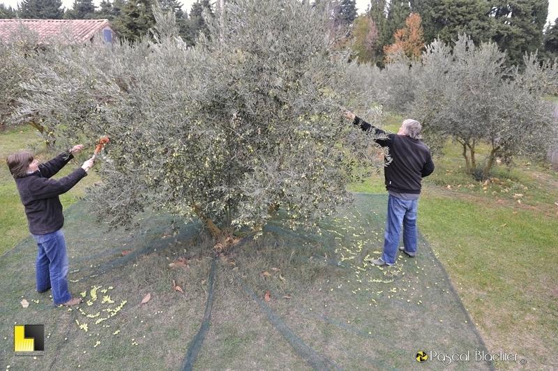 Cueillette des olives au peigne photo blachier pascal