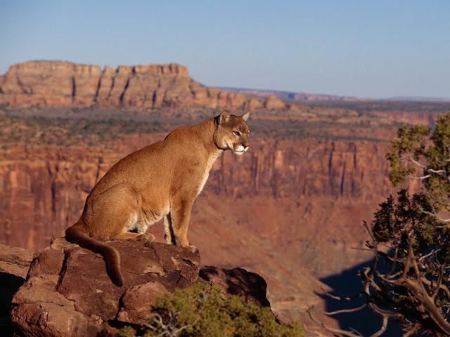 Cougar The Biggest Animals Kingdom