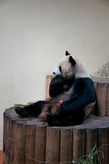 pandas in Scotlands Edinburgh Zoo