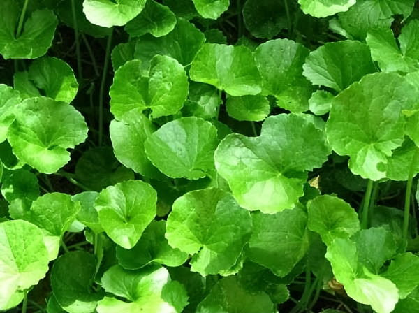 the uses of the gotu kola plant This plant grown in tropical the list of uses for gotu kola shows the potency of this herb used in india similar to how the chinese use ginseng.