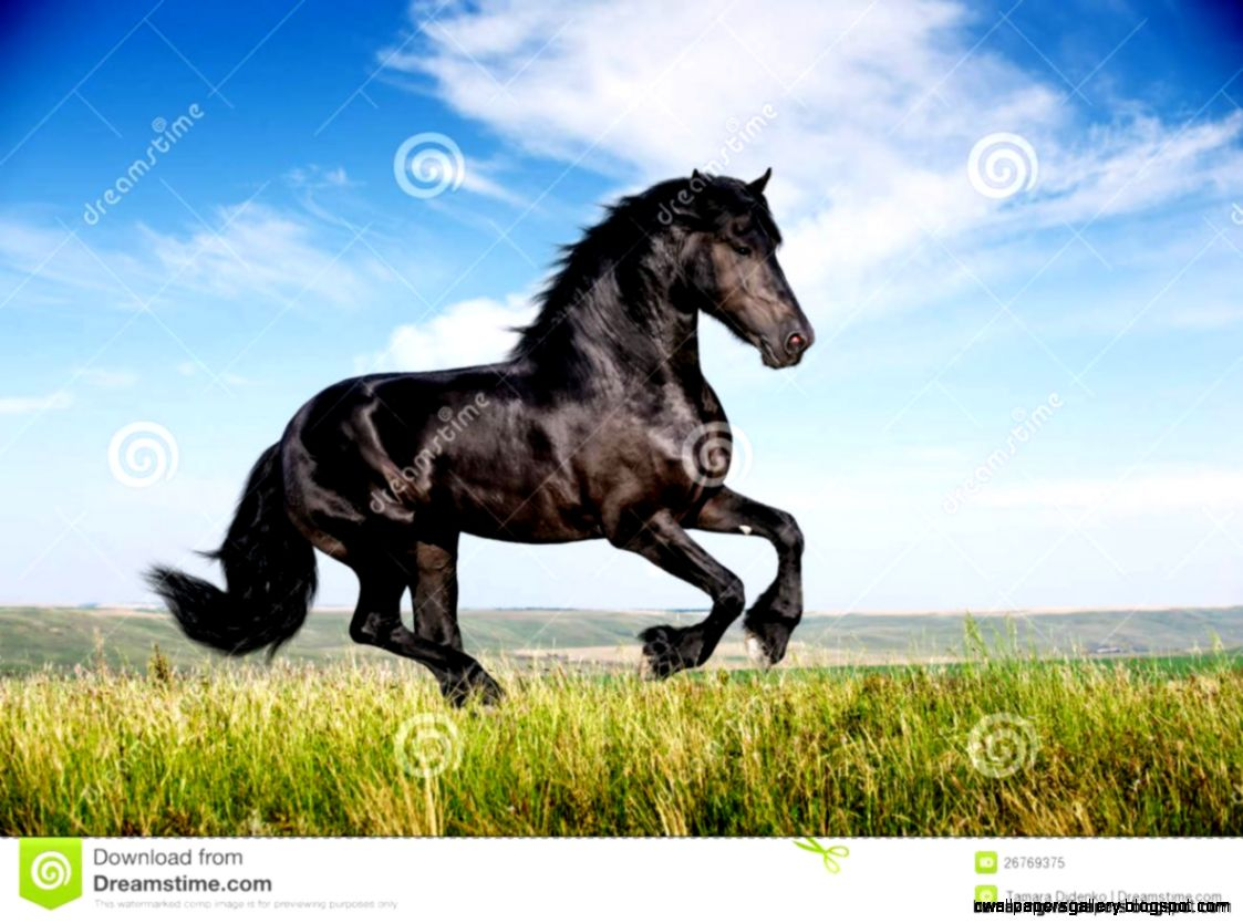 Black Stallion Horse Running  Amazing Wallpapers