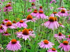 echinacea supplement health benefits