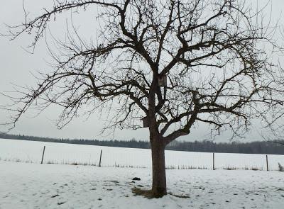 12tel Blick im Februar - Apfelbaum