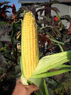 Vkusniogorod - Начало августа на даче – молочно-восковая кукуруза