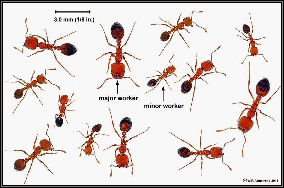 Fire Ant Information Got Fire Ants FireAnt Bite Help
