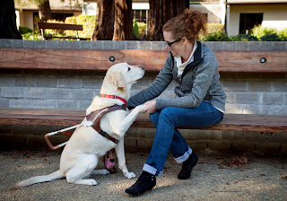 A Yellow Lab guide dog shakes hands with her partner.