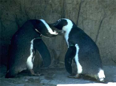 WENDELL AND CASS, TWO MALE PENGUINS, HAVE BEEN A COUPLE FOR 8 YEARS