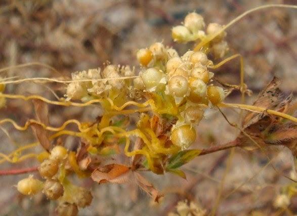 cuscuta seed aphrodisiac