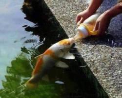 ikan minum air?