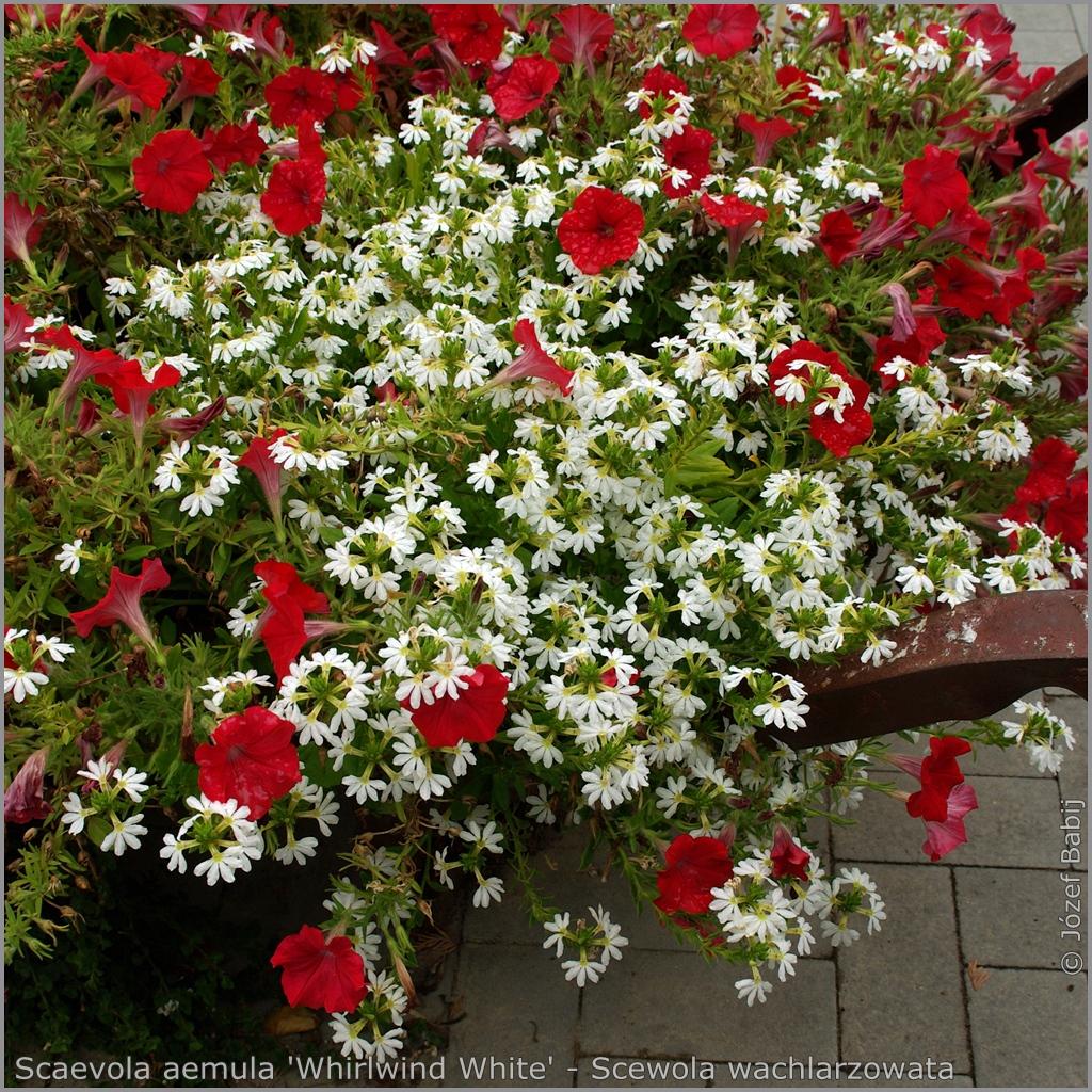 Scaevola aemula 'Whirlwind White' - Scewola wachlarzowata 'Whirlwind White'