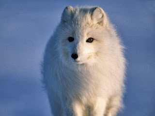 Artička lisica besplatne pozadine za desktop download