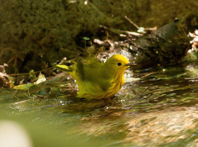 Yellow Warbler - Prospect Park, New York