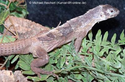 endangered spiny tailed Iguana