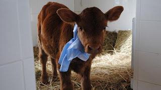 Rosita Isa - A vaca com dois genes humanos