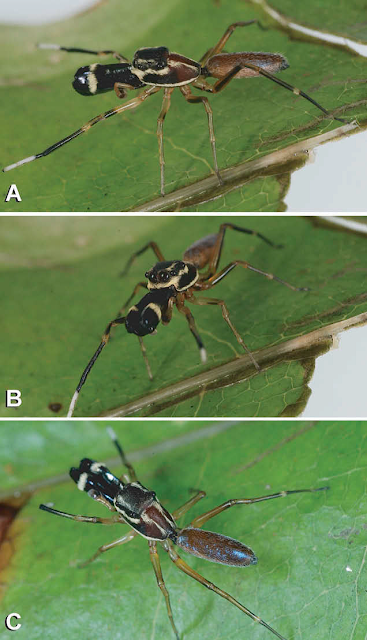 ant_like_jumping_spiders_in_Sri_Lankablog