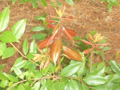 Leucothoe Axillaris Rainbow is a Leucothoe Axillaris