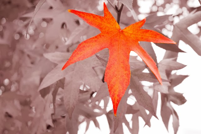 jasmine zhu photography maple leaves in Vancover