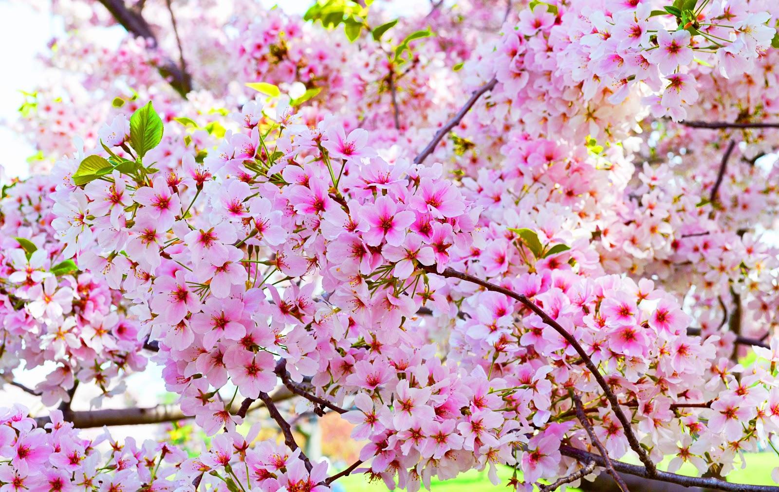 blossoms quotes quotesgram