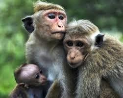 foto kocak keluarga monyet
