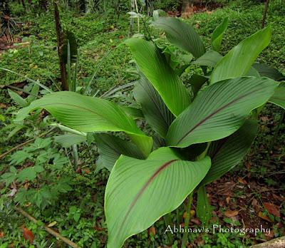 aromatic turmeric or wild turmeric or kasthurimanjal