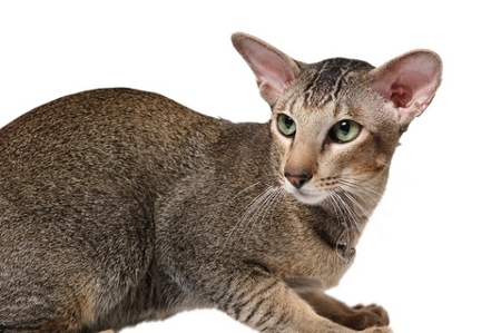 Short Haired Hypoallergenic Cats