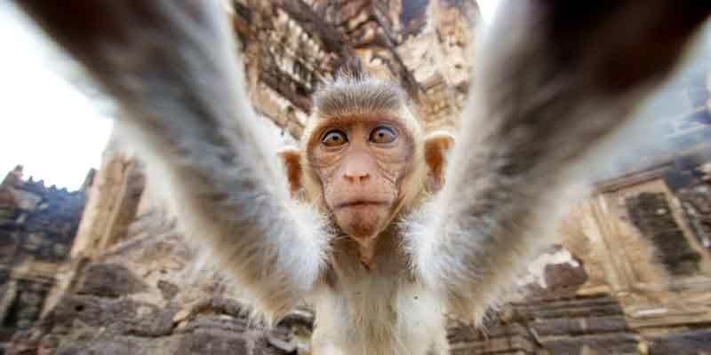 Que faire et voir à Lopburi - singe en gros plan