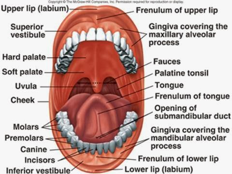 diagram of buccal cavity