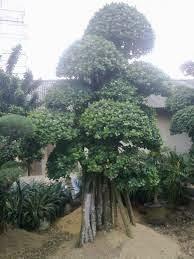 http://tukangtamanqu.blogspot.com/2014/11/tukang-taman-tanaman-bonsai-bonsai.html