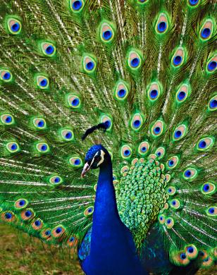 3 business ideas peacock farming - Beautiful peacock feather ...