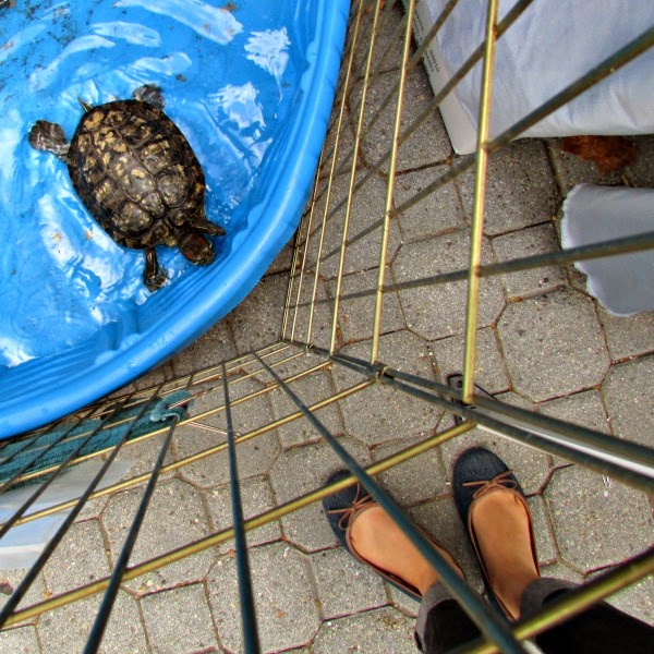 Jack London Square // East Bay SPCA Adoptathon Box Turtle