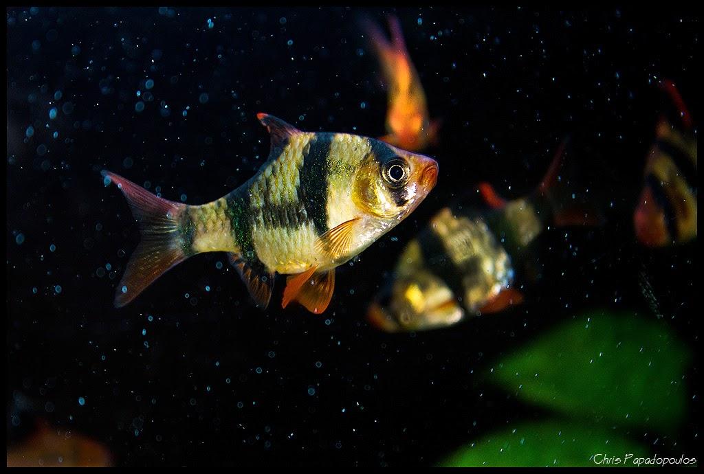 Ikan tiger barb