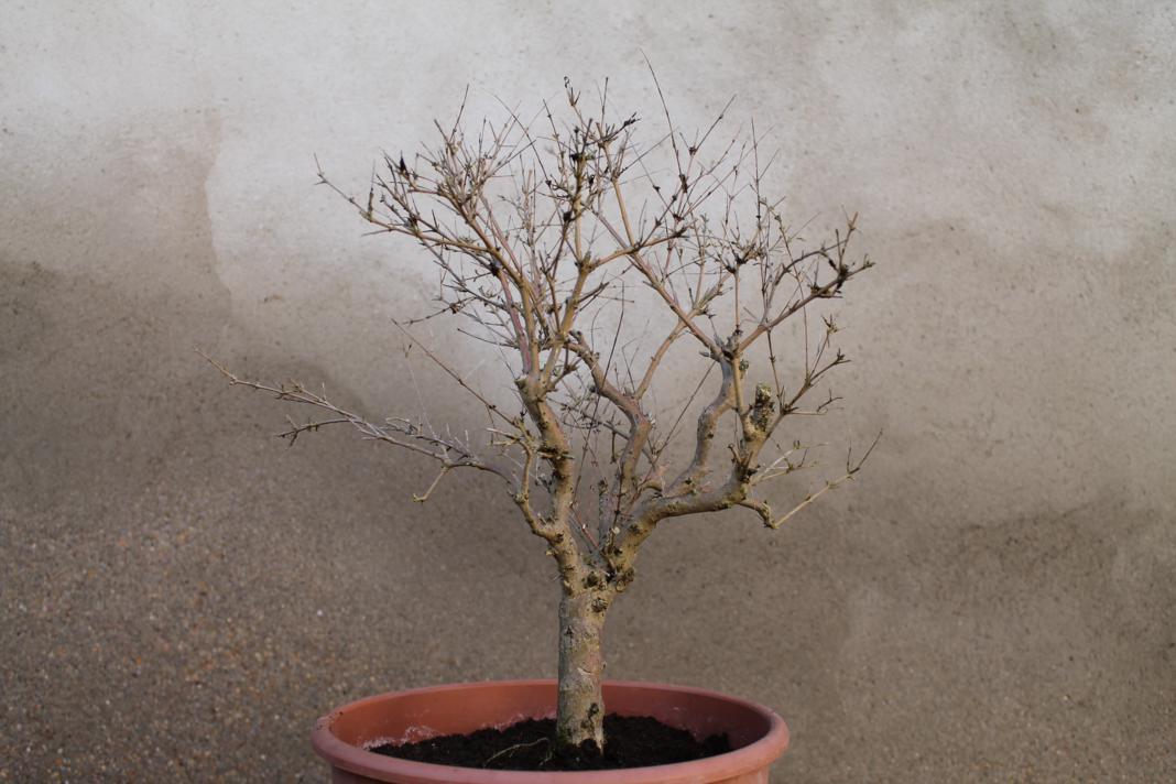 Hobbie bonsai unos nuevos inquilinos for Vivero grinon