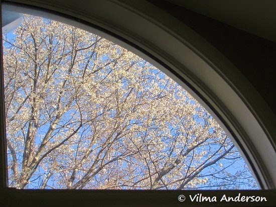 Picture of a cherry blossom tree through a window