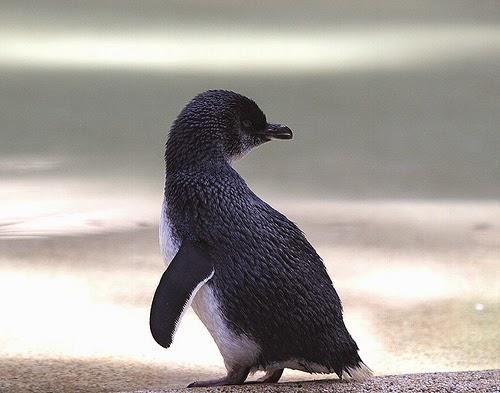 صورة لطيور البطريق ! Little-penguin-9