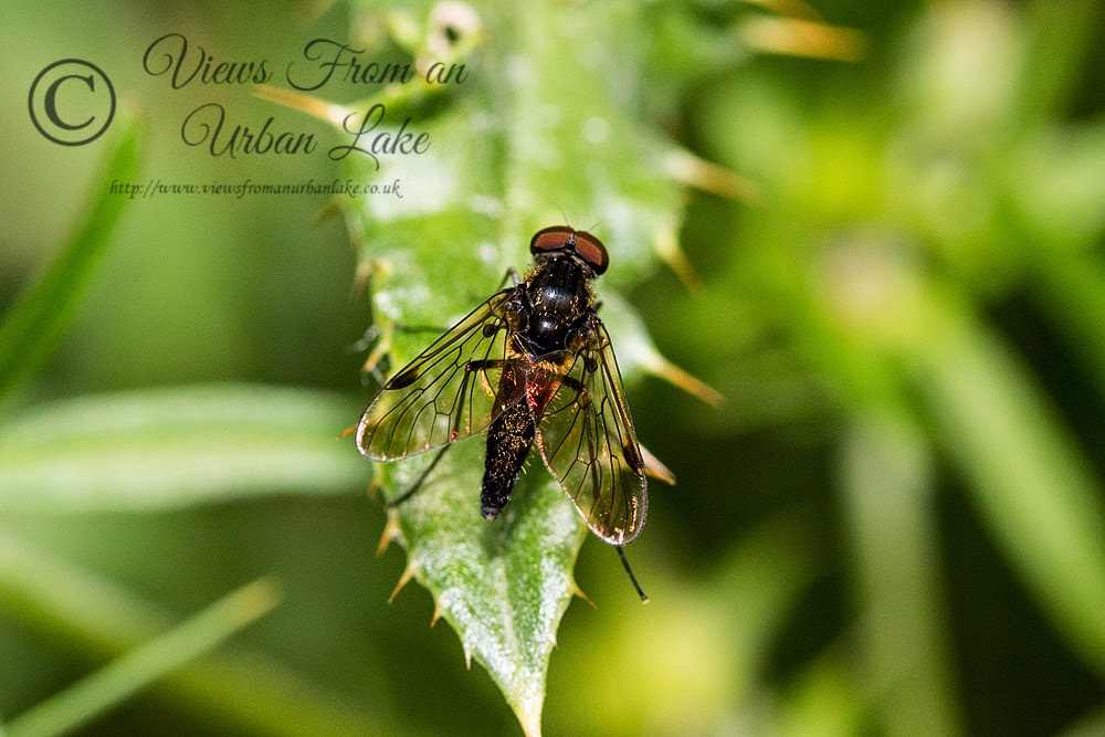 Chrysopilus cristatus (Black snipefly) - Lodge Lake, Milton Keynes