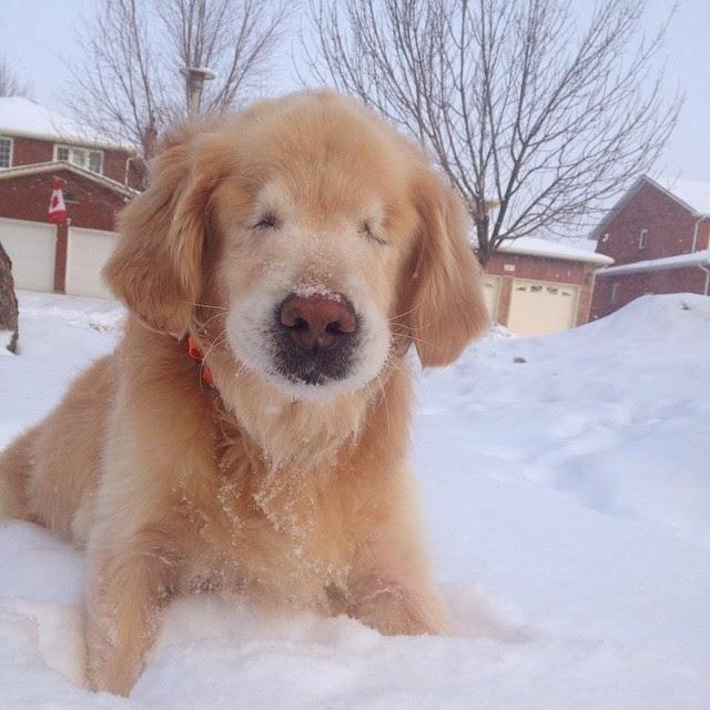 A foto mostra Smiley, de frente, um cão amarelo da raça Golden Retriever com as quatro patas afundadas na neve. Ele tem pelagem abundante, orelhas grandes, olhos fechados, focinho marrom com pelos claros ao redor salpicados por um punhado de gelinho e bigodes brancos. Ao fundo, árvores sem folhas e fachadas de casas, em uma delas, há uma bandeira do Canadá pendurada. A manchete da noticia diz: Golden retriever cego vira 'cão terapeuta' para deficientes no Canadá.