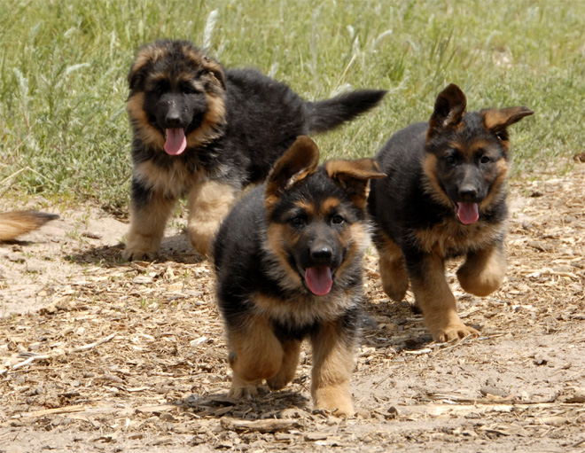 big german shepherds march 2012