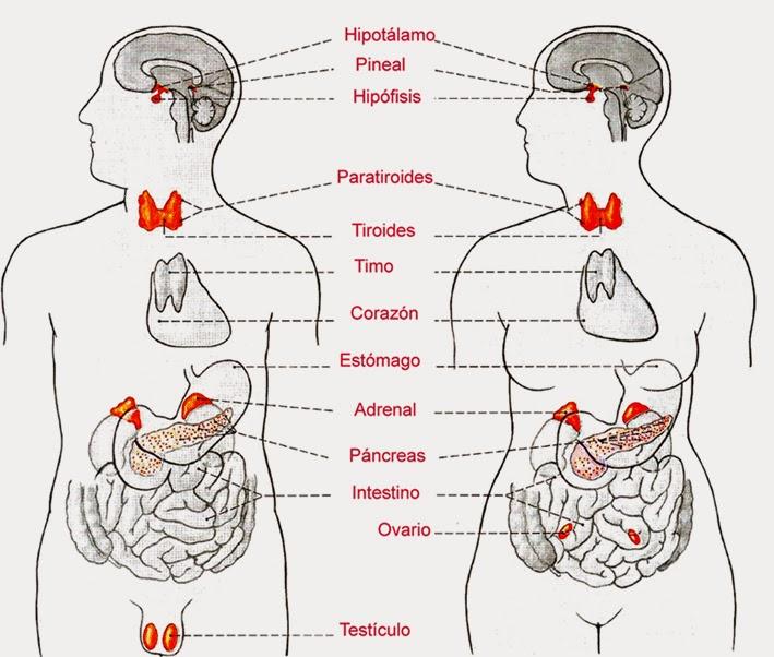 TODOMIKE: Dispositivos Biológicos (Glándulas Endocrinas)